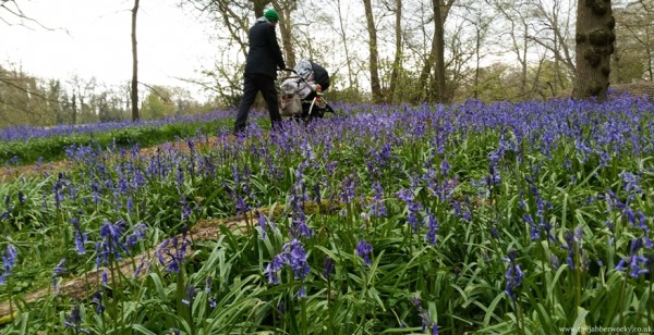 Pushing a pushchair through the bluebells
